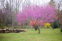 photos redbud