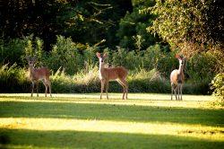 wildlife 3 deer