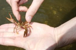 wildlife crawdad