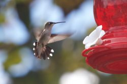 wildlife hummer feeding