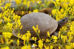 Eastern Box Turtle (Terrapene carolina carolina) in the Ozark National Forest